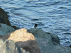 better shot of the bird, but the water is more interesting in the previous shot