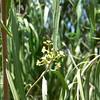 flowers of some kinda weepy tree