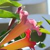 back-lit trumpet vine