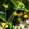 lantana buds and the silvery plant<br /> <br /> I like this shot