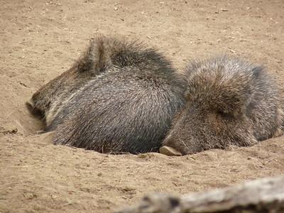 Doncha just love a little nest of piggies?