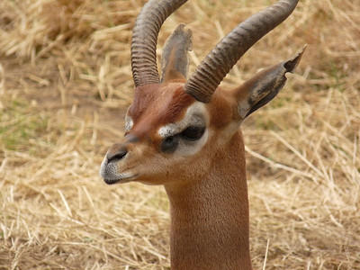 Southern Gerenuk, captured against a straw background