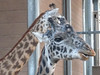 see the difference between the coloration of the giraffe in front and the guy in the background