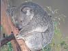 oh, sleepy koala