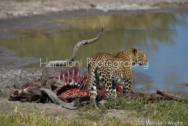 Harmoni Photography Leopards of Botswana