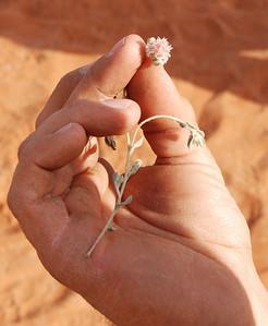 Desert Edelweiss, Sossusvlei Mountain Lodge, Namib Rand Reserve