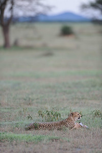 The Cheetah with its prize while downwind in front of the bush a Lioness waits. Our guide speculated that the Cheetah would wait until dark and remove the kill. The next day, we found no evidence of the kill and assume the Cheetah made off with it.