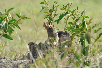 Dwarf Mongoose Grumeti Serengeti Tented Camp, Tanzania