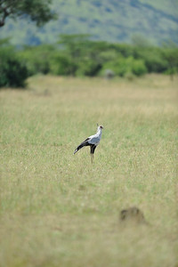 Secretary Bird, named for the feathers protruding from it's head typical of secretaries during the ink and quill days. It feeds on snakes and with few blood vessels in its legs is less sensitive to venom. Grumeti Serengeti Tented Camp, Tanzania