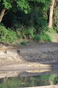 Young baboons taunting a crocodile...... teenagers are the same in every species. Grumeti Serengeti Tented Camp, Tanzania