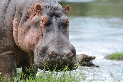 About as close as one would want to see a male Hippo. Grumeti Serengeti Tented Camp, Tanzania