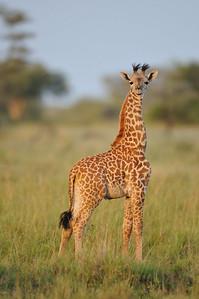 Baby Giraffe, Grumeti Serengeti Tented Camp, Tanzania