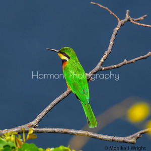 Cinnamon Fronted Bee Eater