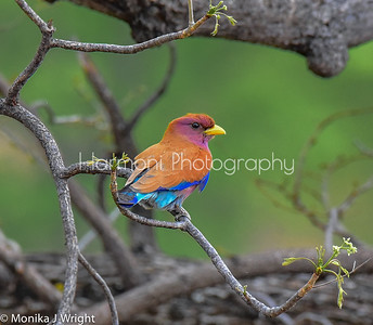 Broad billed roller