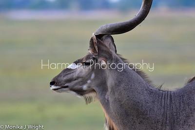Kudu portrait