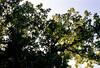 The oaks.