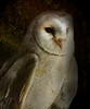 Barn Owl  _DSC8860_filtered
