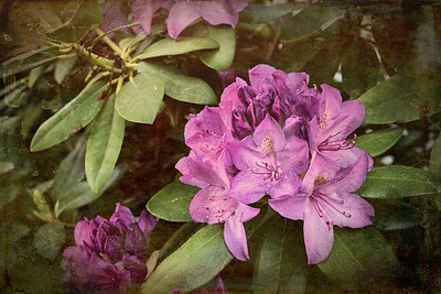 New England Rhododendron