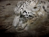snow leopard  _DSC4231