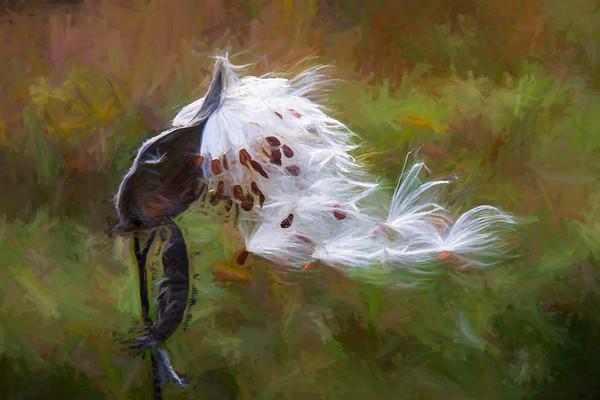 Milkweed in the Breeze