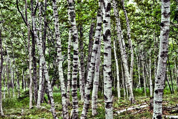 Acadian Birches