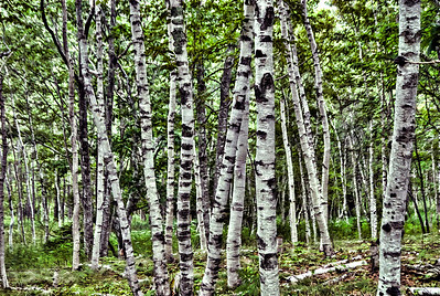 Acadian Birches