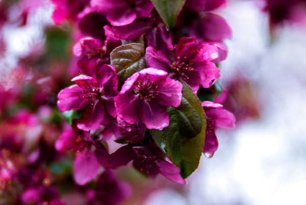Crabapple Blossom I