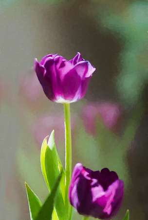 Purple Tulip(s)
