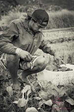 Hana Ranch Farm's Kini Oliveira harvesting. © 2017 Sugar + Shake