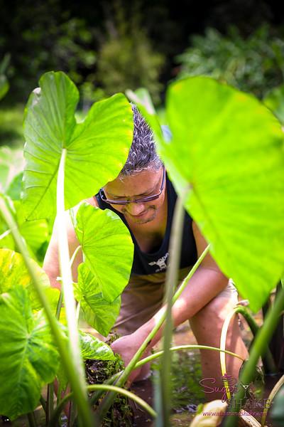 Maui Visitors Bureau's Keli'i Brown tends to the lo'i at Kapahu Living Farm. © 2015 Sugar + Shake