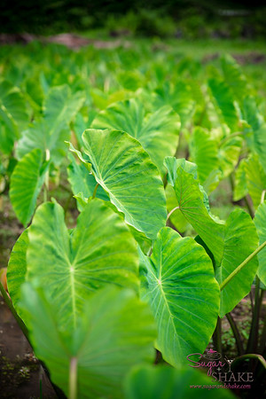The lo'i at Kapahu Living Farm. © 2015 Sugar + Shake