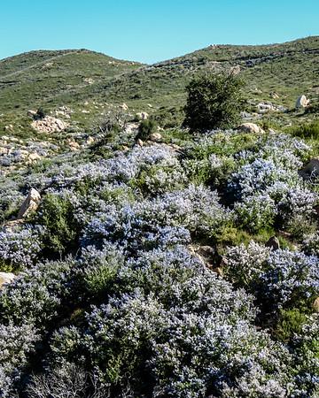 Ceanothus in Cuyamaca State Park
