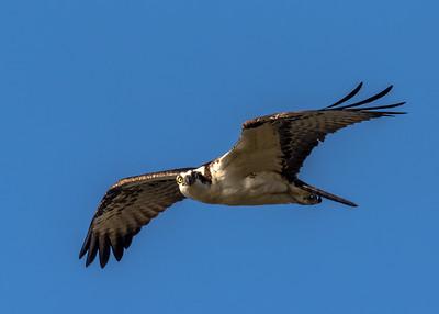 2017 January.  Ospreys and Buzzards at Lake Murray