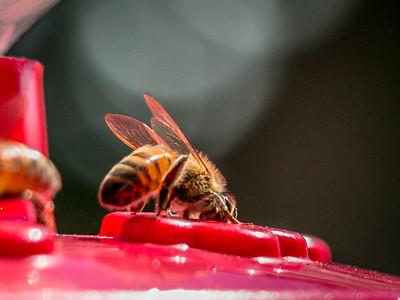 Bees on the Hummingbird Feeder