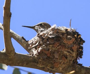 Humming bird chicks in the nest