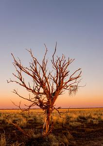 Tree on the Mitchell Grass Plains at Lochern National Park Longreach