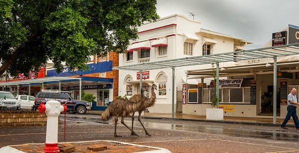 Emus walk down eagle street ...main st longreach