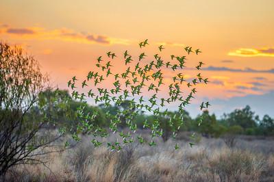 Budgies on the Longreach common