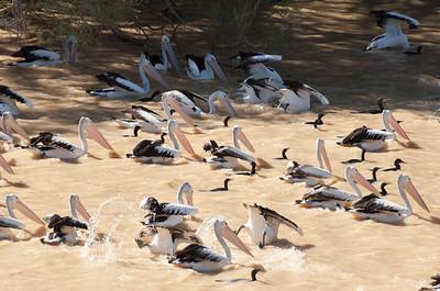 pelican feeding frenzie on the barcoo
