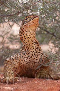 spotted sand goanna at welford