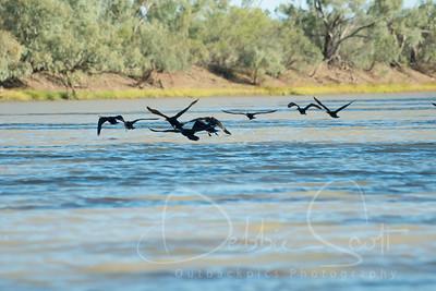 Liitle Black Cormorant