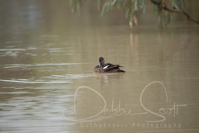 Grey-Teal Duck