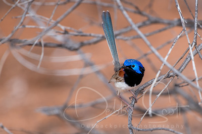 Varigated Fairy-Wren