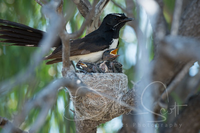 Willy wag-tail and chicks