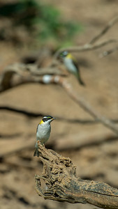 Golden Backed Honeyeater