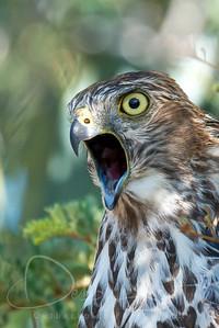 Collared Sarrow-Hawk