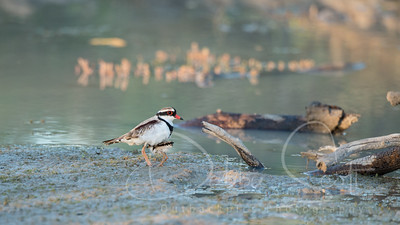 Black -fronted dotterel with chick taking cover