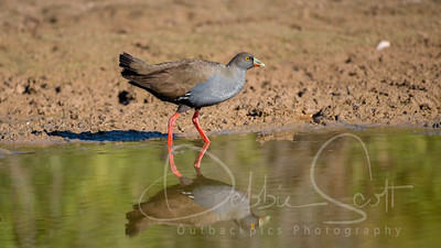 black-tailed Native Hen