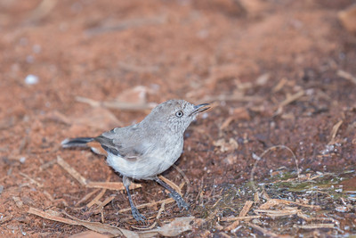 chestnut-rumped thornbill