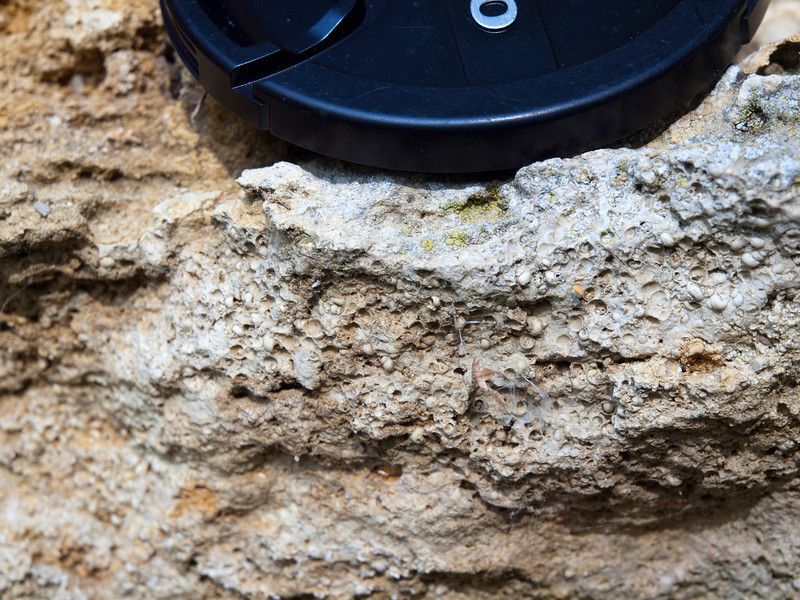 Hydrobia (Gastropoda) limestone